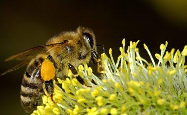 Cvjetni prah u borbi protiv alergija
