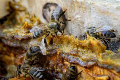 Jačanje imuniteta pčelinjim proizvodima- PROPOLIS